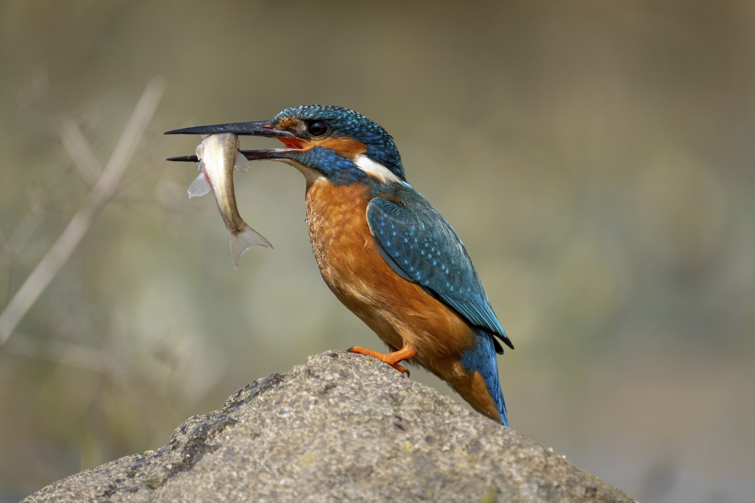Kingfisher with a Minnow © Jack Perks - A common bird on the Teign, can be tricky to see!