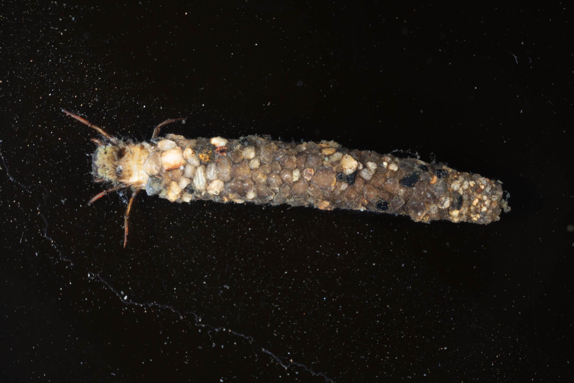 Caddis Fy larva © Nick Baker