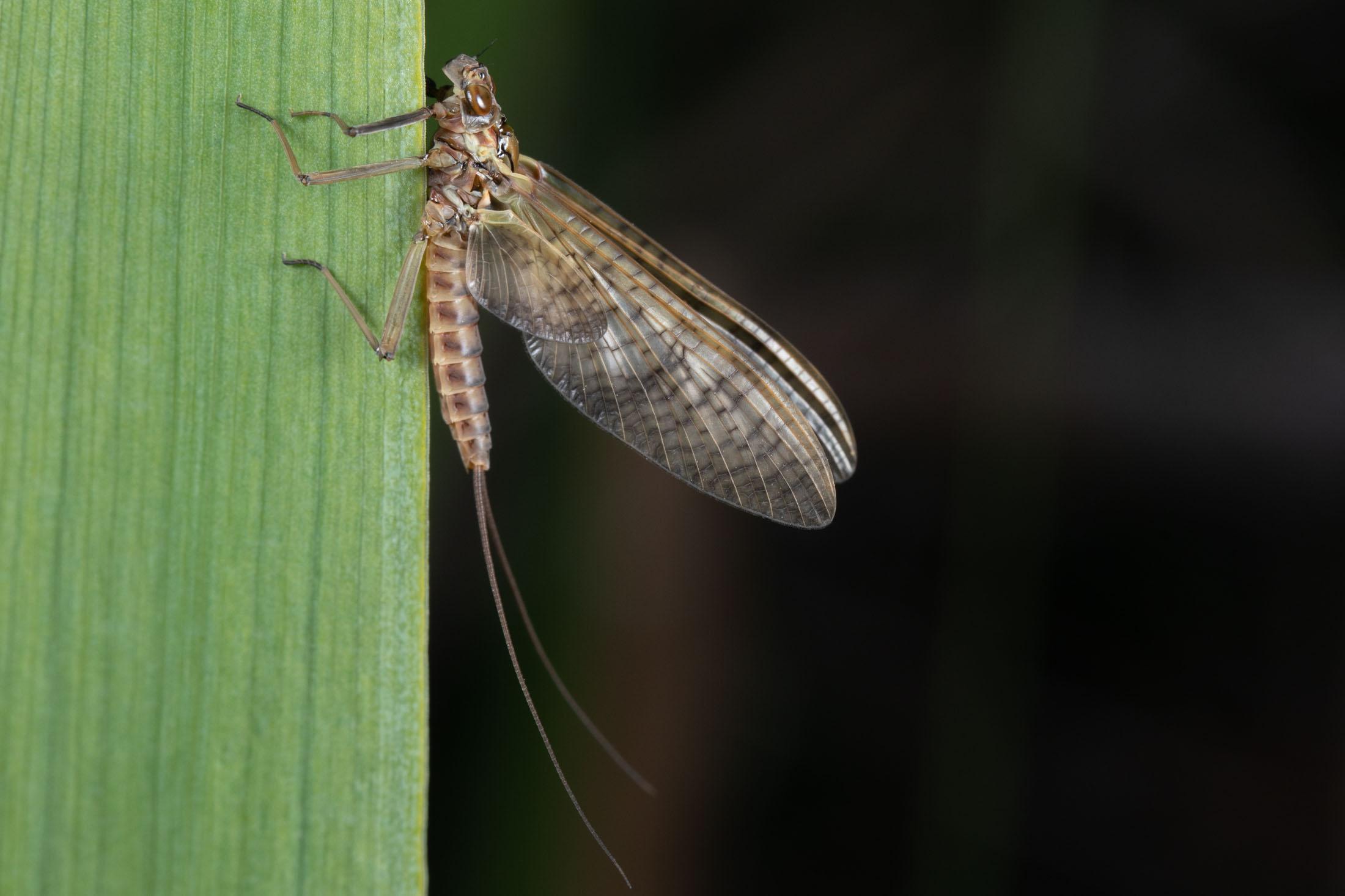 Mayfly dun © Nick Baker