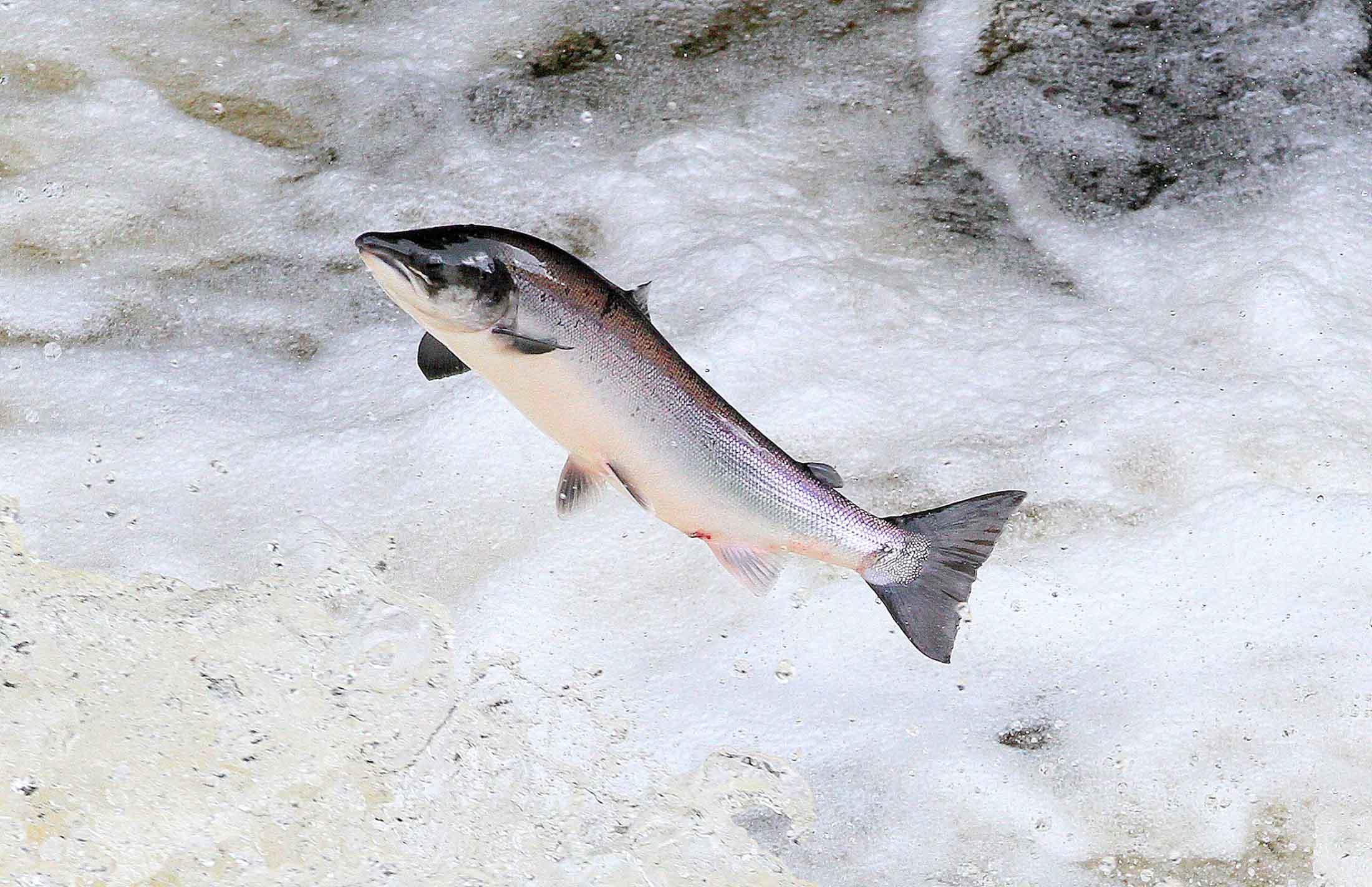 Altlantic Salmon ©Alister Kemp