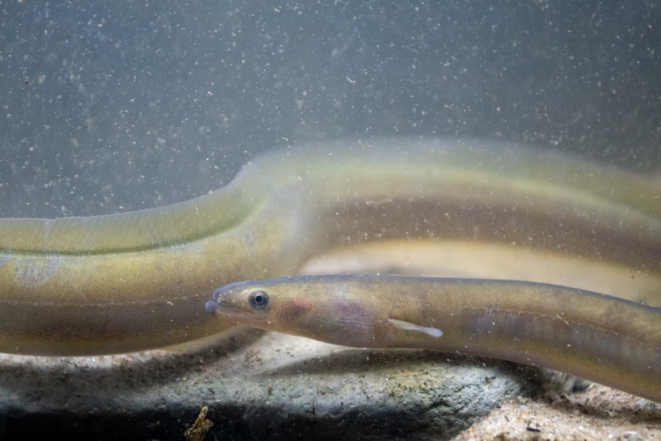 European eel © Jack Perks