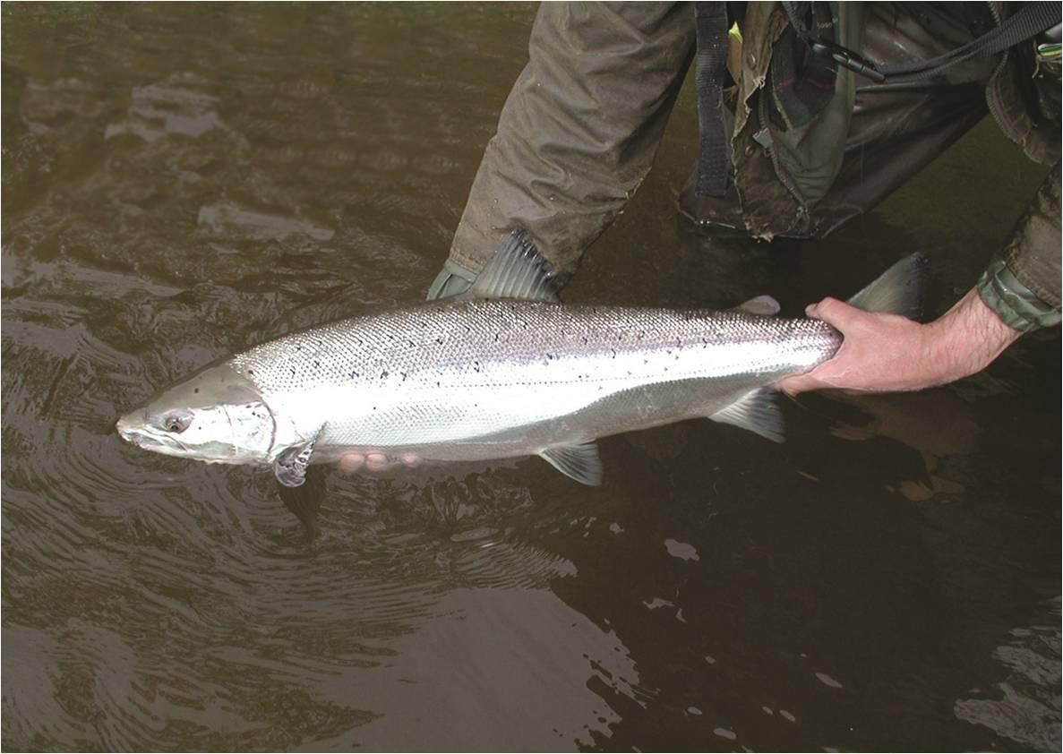 Releasing Exe Salmon-1