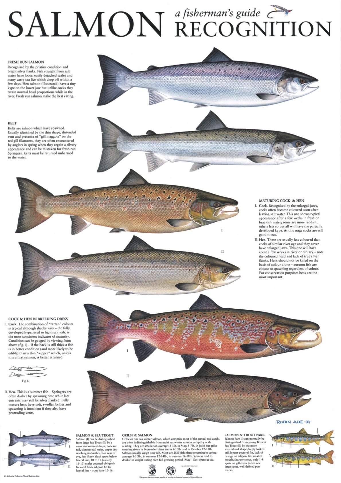 atlantic_salmon_recognition