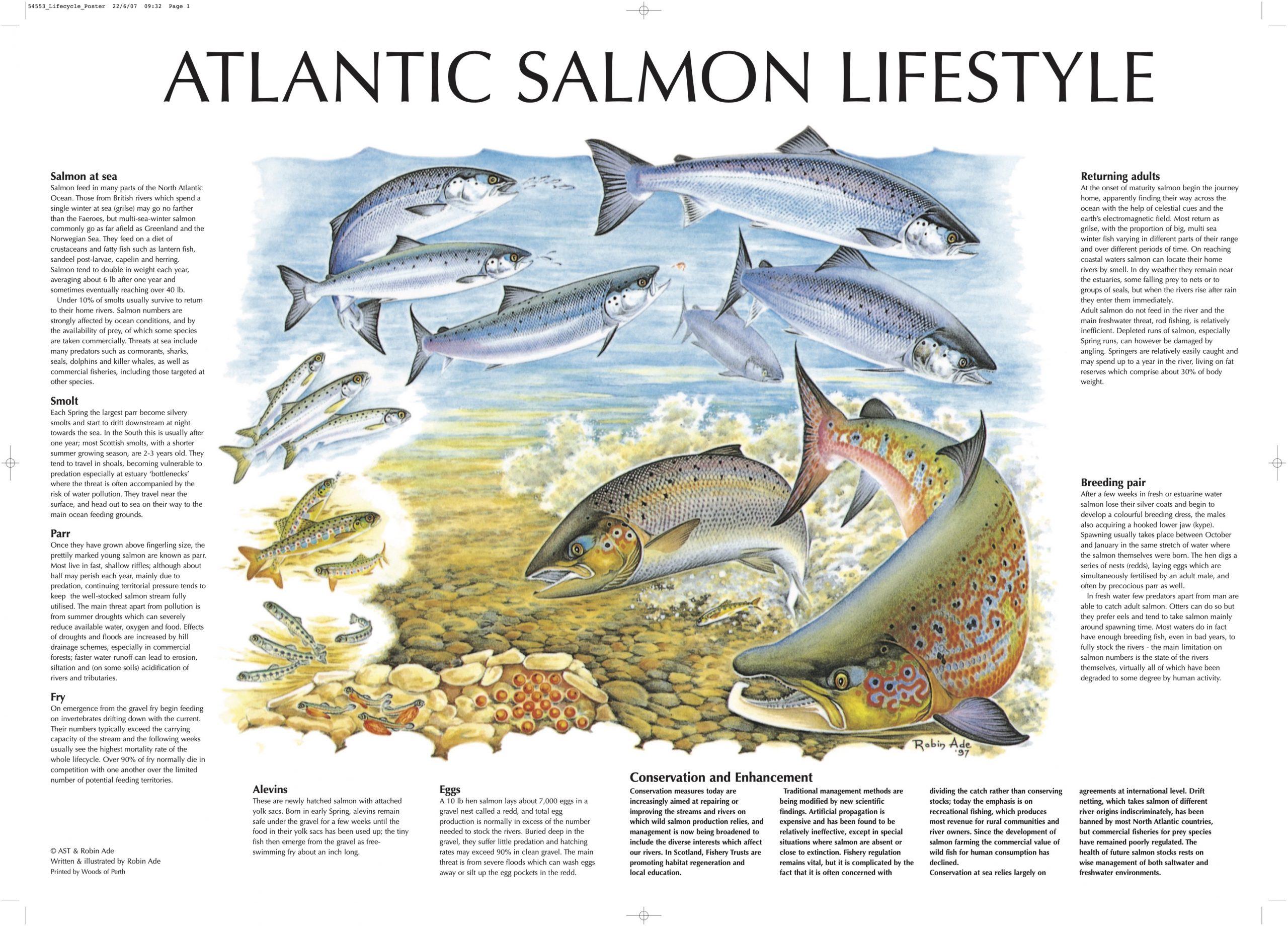 salmon-lifecycle1-1